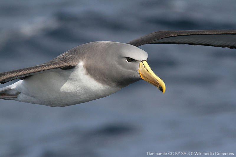 Chatham_Albatross