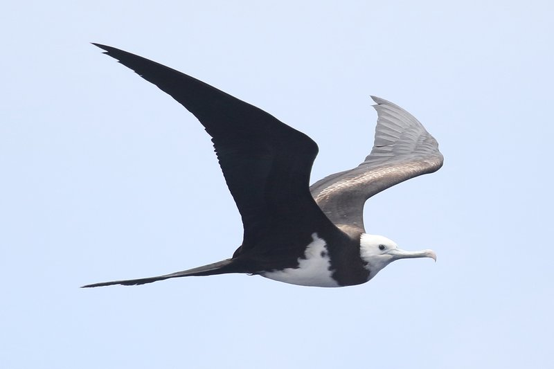 Ascension_frigatebird
