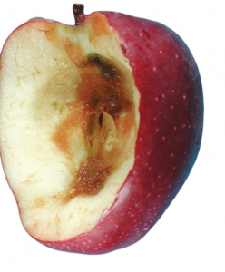Internal view of a red delicious apple with blue mold infection showing that the decayed tissue is completely separable from the healthy tissue.