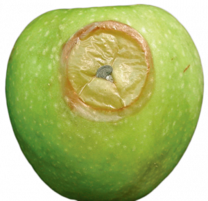 Granny Smith apple with a side wound infected with Blue mold showing spore masses.