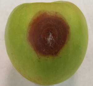 Gray mold originating from a wound infection of a Granny Smith.