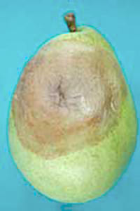 Gray mold originating from wound infection of a d 'Anjou pear.