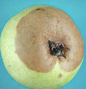 Gray mold originating from calyx infection on a d 'Anjou pear.