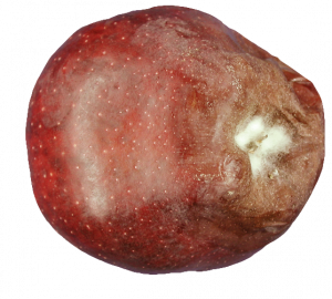 Gray mold infection originating from infection of the calyx of a Red Delicious; white to gray mycelium and gray spores may cover the decayed area under high humidity conditions.