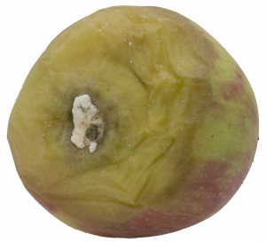 Gray mold infection at the stem end showing fluffy white to gray mycelia.