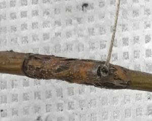 symptoms and pycnidia caused by P. washingtonensis.