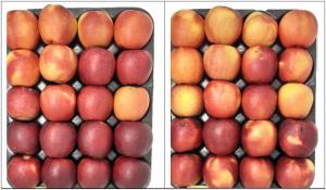 WA38 fruit shown in box trays.