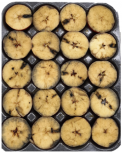 WA 38 fruit in a box tray cut to show flesh sprayed with iodine to indicate starch content.