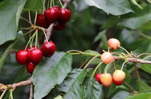 cherry branch with one normal cluster and the other under-colored.