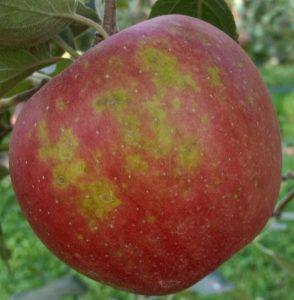 Apple on tree showing multiple green patches.