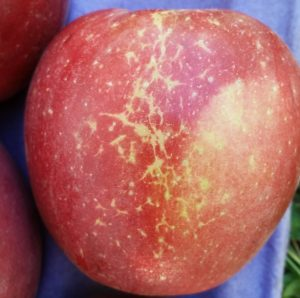 apple showing a lateral band of superficial scarring resulting from apple mildew.