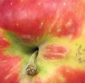 close-up view of stem end showing an irregular pink pigmented bulge on the edge of the stem bowl surrounded by sunken green pigmented skin tissue.