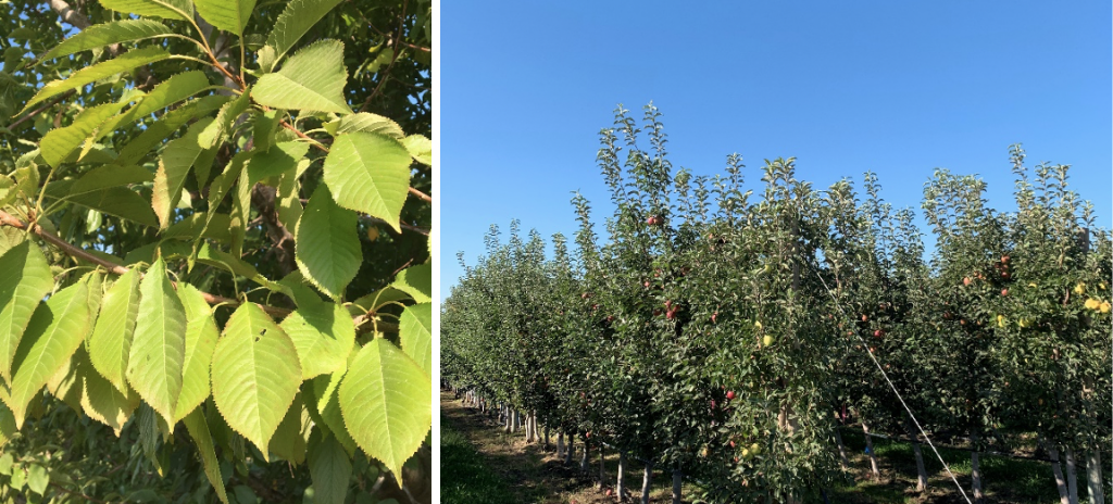 Cherry leaves appearing pale green in color.; apple orchard with vigorous dark green growth.