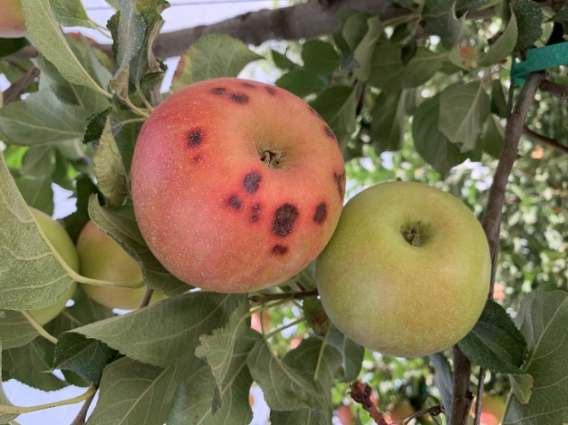 An apple shown on tree with he characteristic dark spots near the calyx end.