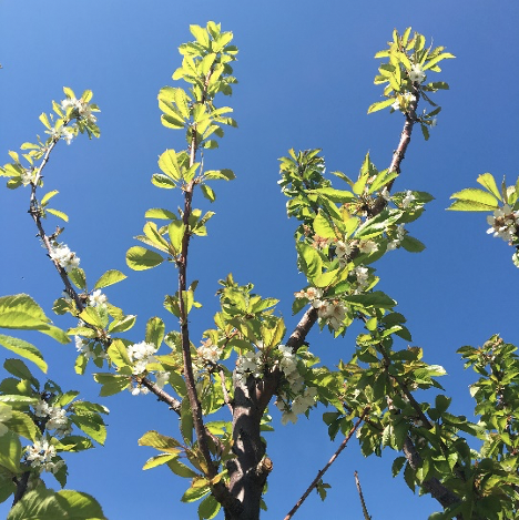 Looking up into the canopy of a cherry tree with smaller, yellowing leaves are apparent.