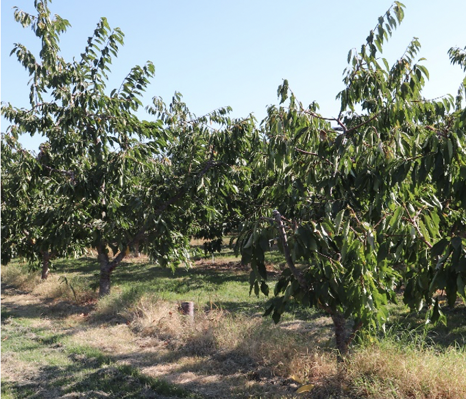 image shows an orchard row with a stump between two trees.