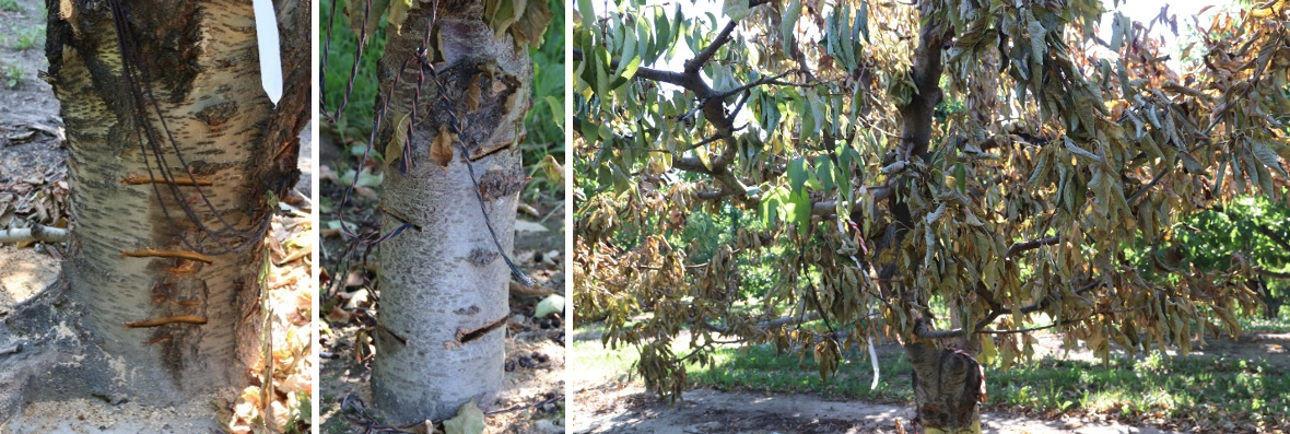 Multi-image panel where the first image shows the lower tree base with three parallel cuts; second image shows four diagonal cuts opposite each other; the third image shows a tree shows a tree with partial dye-back.