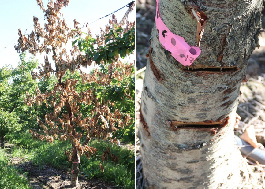 A two image panel with the first image showing a treated tree with some branches with green leaves; the second image is a close-up of the trunk with new cuts to correspond to flow going to the surviving branches.