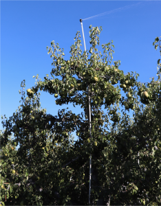 image showing an overhead riser in the pear orchard spraying out over the canopy.