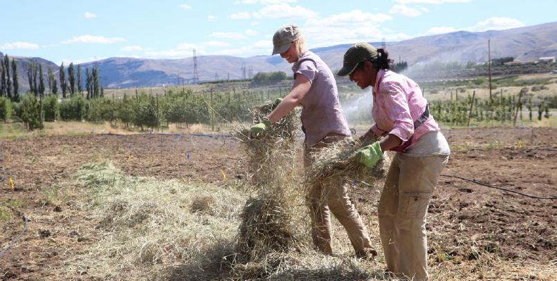 Image shows Tianna and Shashika hand applying hay in rows.