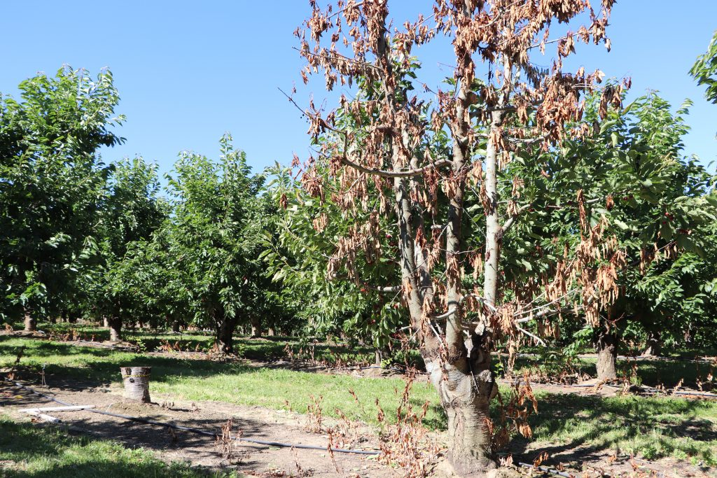 image shows a dead tree next to a stump in an orchard with otherwise healthy-looking cherry trees.