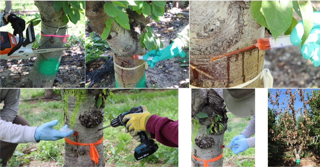 Multi-panel image showing the steps of applying the herbicide to a notch or drill hole in the tree trunk.