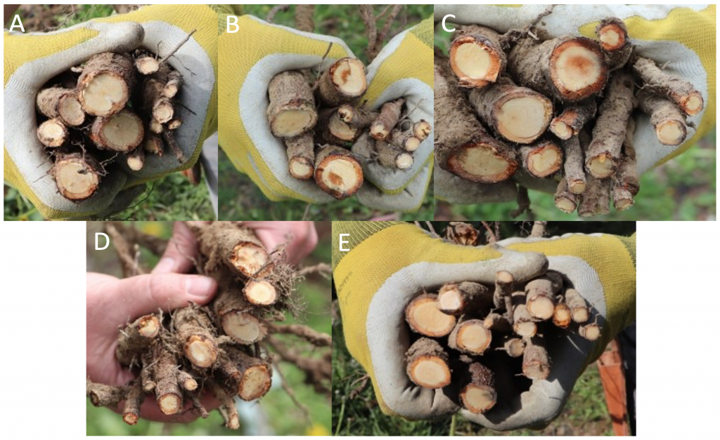 Multi-image comparison of root death preceded by the different treatments.