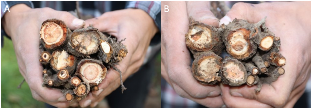 side-by-side comparison of root death from dilute and concentrated treatments.
