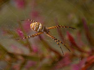 orange and black striped spider