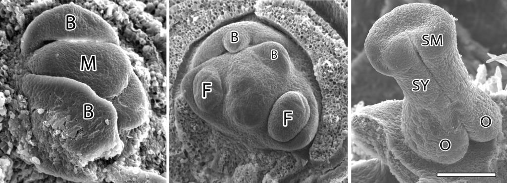 Electron microscopy of flower buds