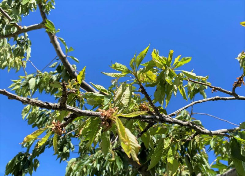 dry out cherry apical shoot