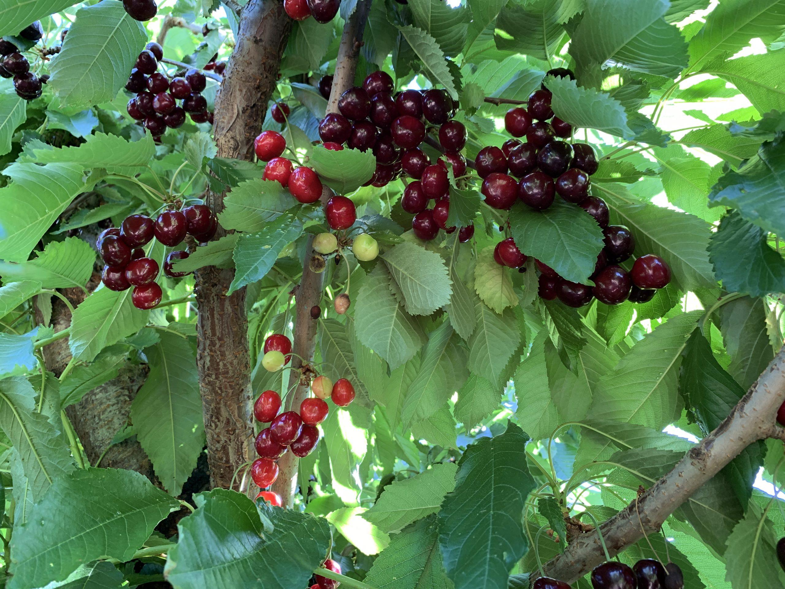 smalle red cherries next to big dark red cherries