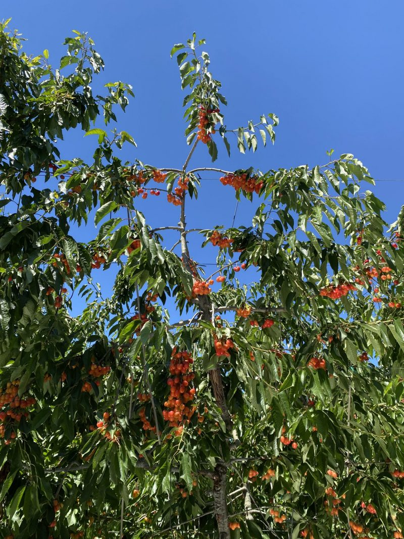 tree with small fruit and leaves