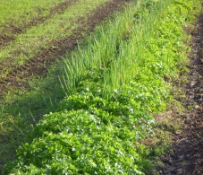 A row of green plants in a field