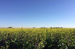 field of blooming mustard