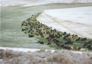 cattle grazing in circle fence