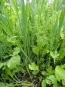close up of cover crop mixture growing