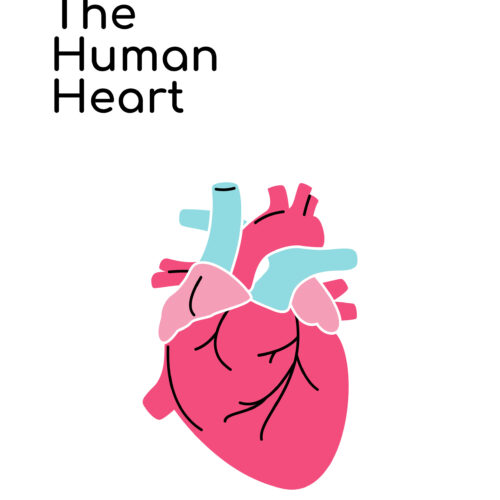 The Human Heart Vocabulary Words's featured image