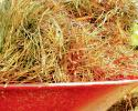 Pine straw in a wheelbarrow