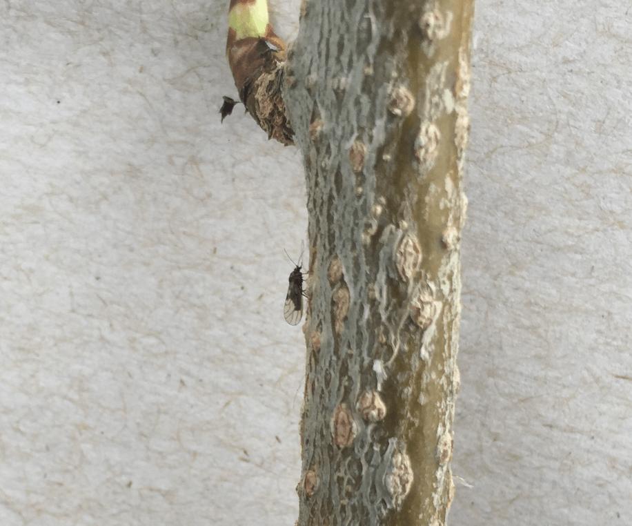 Pear psylla adult on pear limb