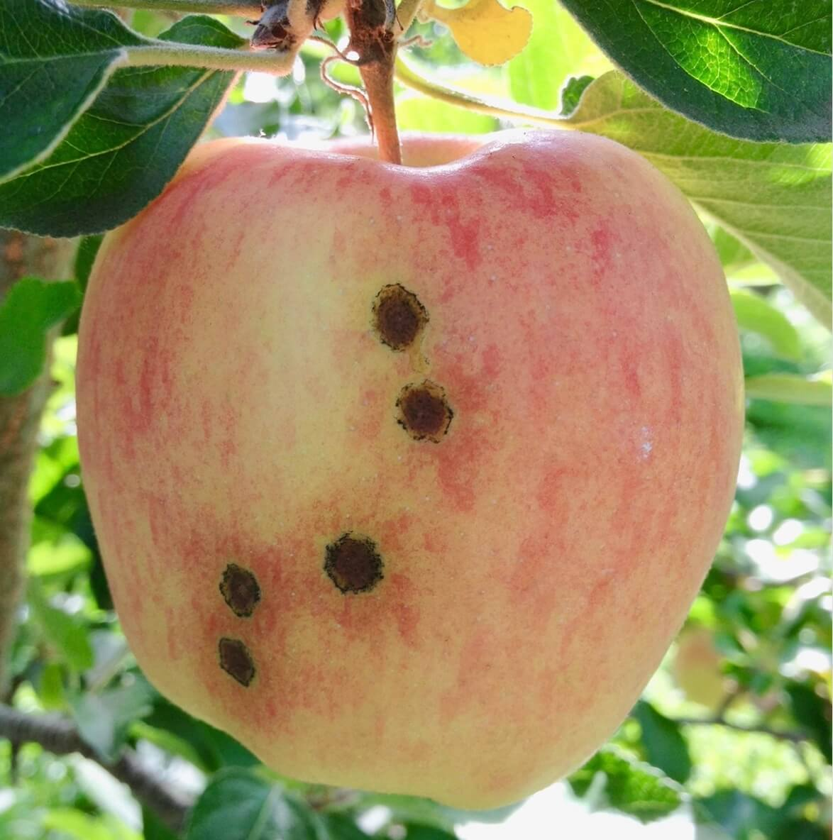 Apple Scab on Gala apples