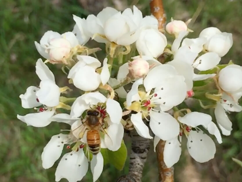 Bee pollinator active on pear blossoms