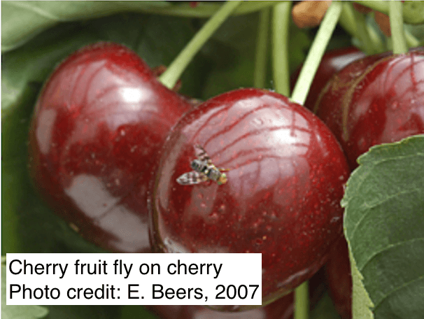 https://ca.decisionaid.systems/Cherry Fruit Fly adult on cherry (Photo Credit: E. Beers, 2007)