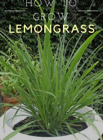 lemongrass4