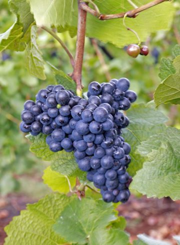 how to grow grapes 0010