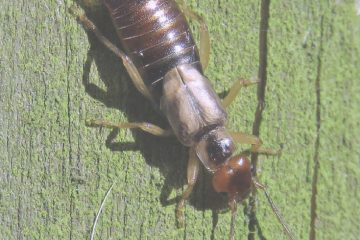 How to Control Earwigs Naturally