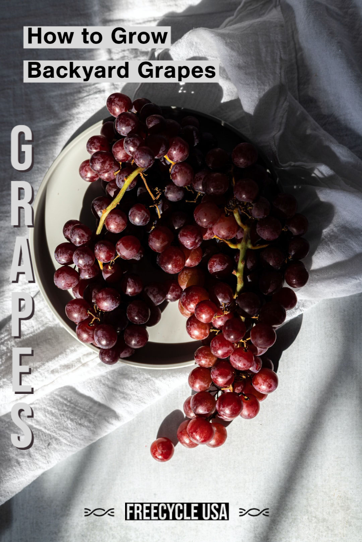 Backyard Grapes