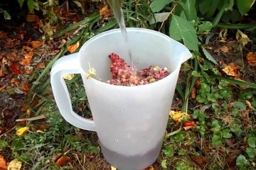 Wild Edibles- Bush Lemonade / Sumac-ade- Great for stomach aches!