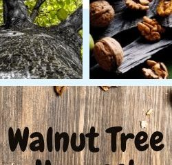 Walnut Tree Harvest Tutorial