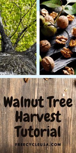 Walnut Tree Harvest Tutorial